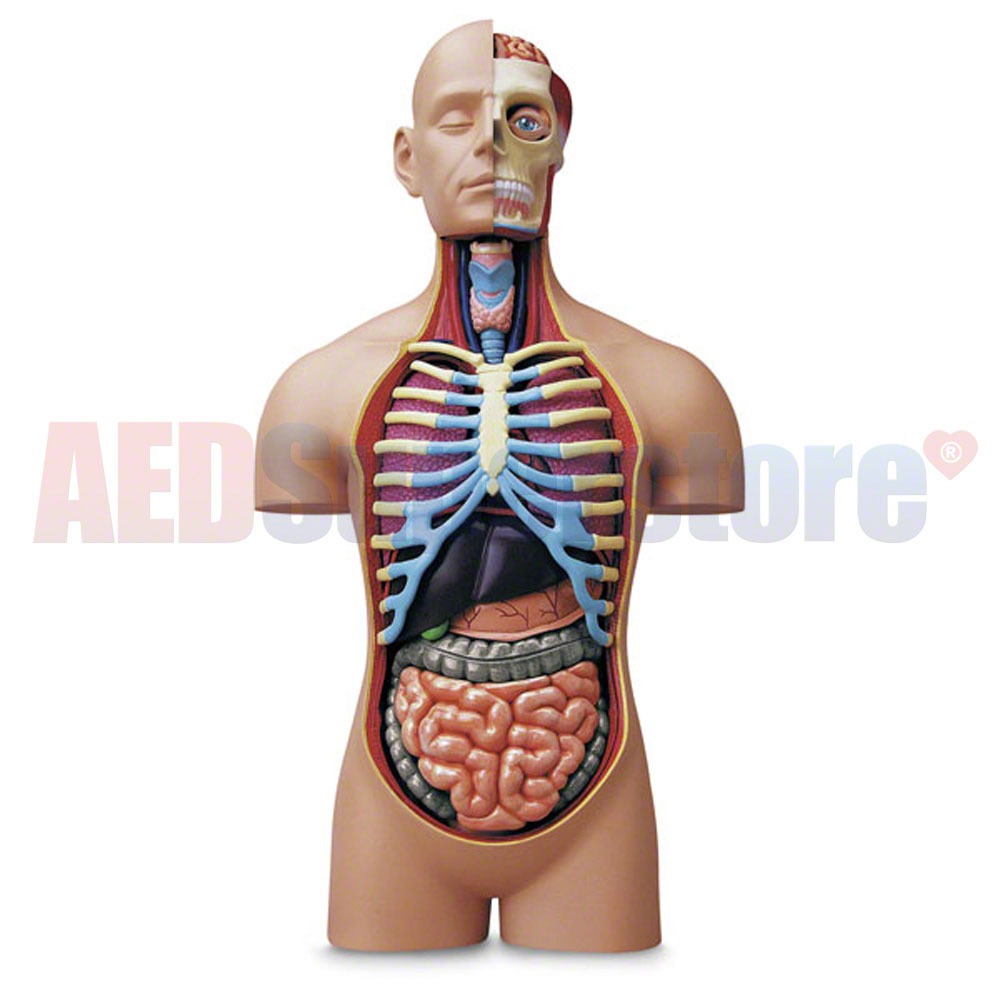 Nasco 4d Human Anatomy Deluxe Torso Model Aed Superstore Sb50772g