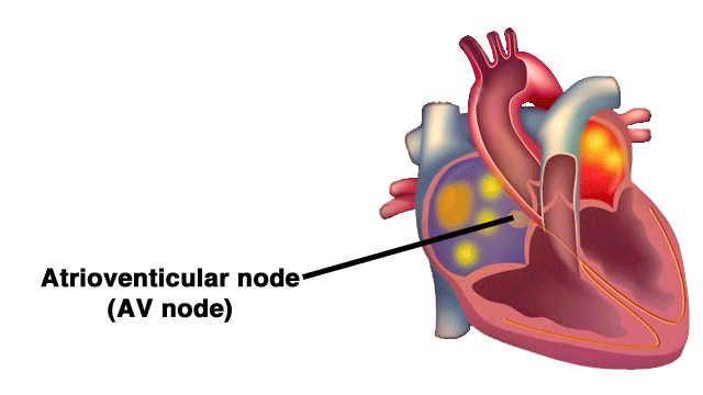 How Does the Heart Work? | AED Superstore Resource Center