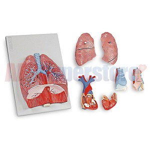 Respiratory System Model - Larynx/Lung/Heart
