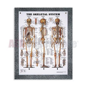 Peter Bachin Anatomical Systems Chart Set by Nasco